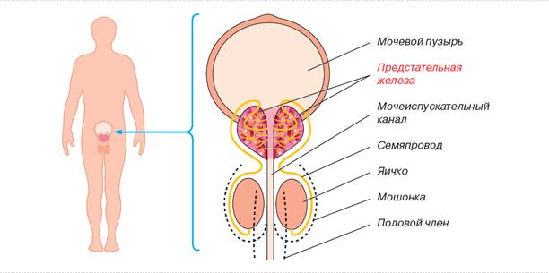 Что значит с-r предстательной железы